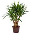 Yucca gestivert