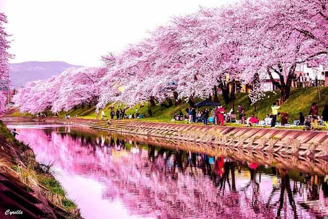 Le cerisier japonais, une tradition asiatique