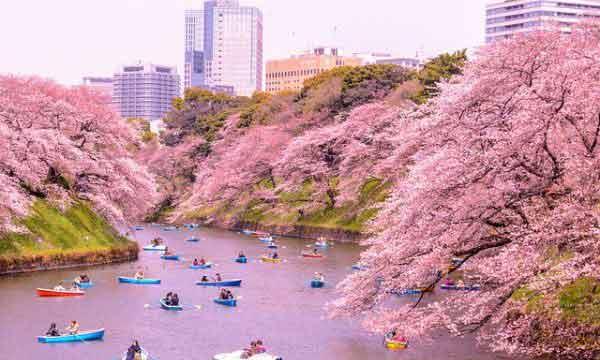 Japon, des cerisiers fleurissent en automne