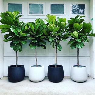 Contrat d'entretien et de location de plantes Ficus Lyrata