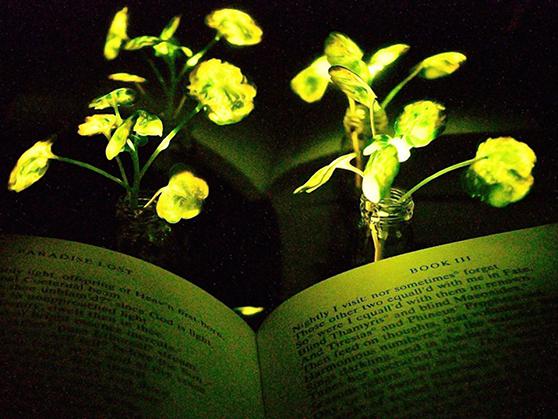 Les plantes qui brillent dans l'obscurité